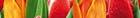 Syntia Tulip
