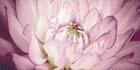 Sorenta mocca durst kwiaty В